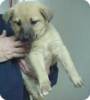 Labrador Retriever Mix Puppy for adoption in Palatine/Kildeer/Buffalo Grove, Illinois - Ava