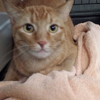 Domestic Shorthair Cat for adoption in Westminster, California - Runt