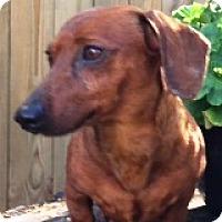 Adopt A Pet :: Copper Cadillac - Houston, TX
