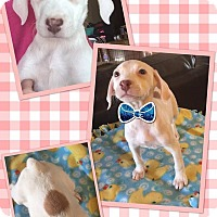 Adopt A Pet :: Montana - Scottsdale, AZ