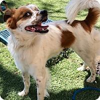 Adopt A Pet :: Poncho - Las Vegas, NV
