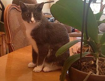 Domestic Shorthair Cat for adoption in Fort Lauderdale, Florida - Frieda Luna