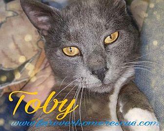 Domestic Shorthair Cat for adoption in Blaine, Minnesota - Toby