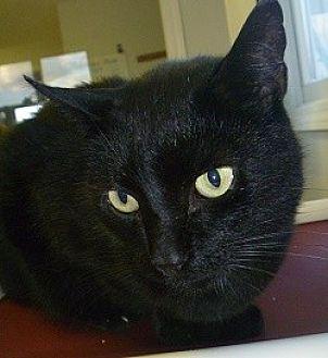 Domestic Shorthair Cat for adoption in Hamburg, New York - Elmo