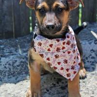 Adopt A Pet :: Brit - Spring City, PA