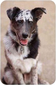 Australian Shepherd/Border Collie Mix Puppy for adoption in Portland, Oregon - Odie