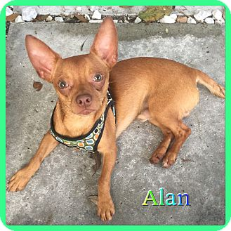 Chihuahua Mix Dog for adoption in Hollywood, Florida - Alan