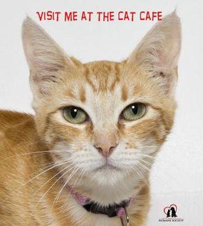 Domestic Shorthair/Domestic Shorthair Mix Cat for adoption in Santa Maria, California - Holly