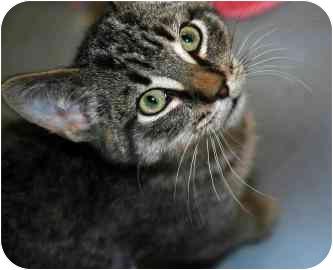 Domestic Shorthair Kitten for adoption in Walker, Michigan - Clare