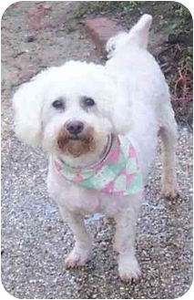Bichon Frise Dog for adoption in Kansas City, Missouri - Nick