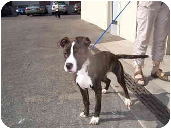 American Staffordshire Terrier/Boxer Mix Puppy for adoption in Malibu, California - CHLOE