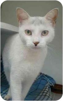 Domestic Shorthair Cat for adoption in Norwalk, Connecticut - Quinn