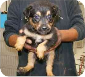 Rottweiler Mix Puppy for adoption in Alexandria, Virginia - Lucy