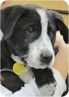 Border Collie/Labrador Retriever Mix Puppy for adoption in Westminster, Colorado - TUCKER