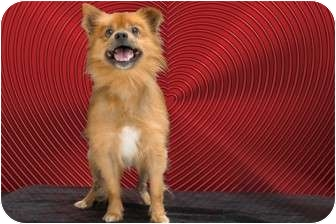 Pomeranian Mix Dog for adoption in Livonia, Michigan - Mr. Patch - Adoption Pending