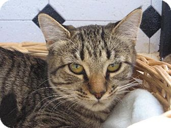 Domestic Shorthair Kitten for adoption in Las Cruces, New Mexico - Zoe
