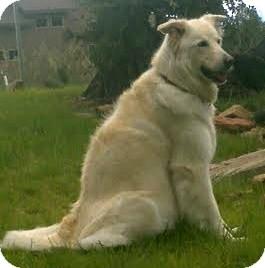 Shepherd (Unknown Type)/Husky Mix Dog for adoption in Gilbert, Arizona - Abby
