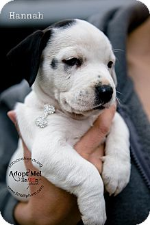 Rat Terrier/Boxer Mix Puppy for adoption in Burbank, California - Hanna - 8 wk old puppy