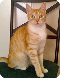 American Shorthair Cat for adoption in Escondido, California - Thomas