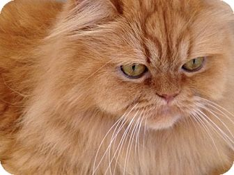 Persian Cat for adoption in Beverly Hills, California - Biscuit