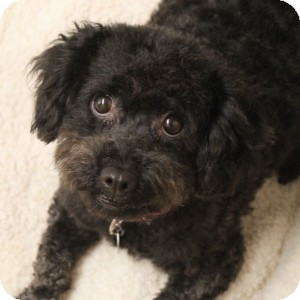 Poodle (Miniature) Mix Dog for adoption in Naperville, Illinois - Sabrina