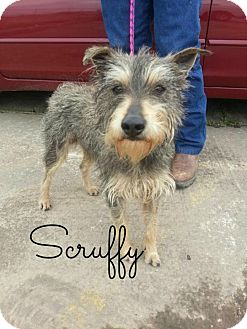 Schnauzer (Standard)/Yorkie, Yorkshire Terrier Mix Dog for adoption in Shady Point, Oklahoma - Scruffy
