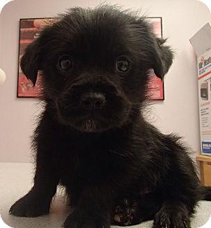 Scottie, Scottish Terrier/Pekingese Mix Puppy for adoption in Pocahontas, Arkansas - Winston