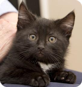 Domestic Mediumhair Kitten for adoption in Chicago, Illinois - Darrien