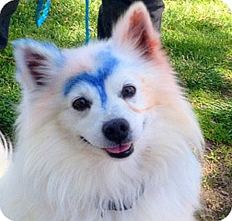 Spitz (Unknown Type, Medium) Mix Dog for adoption in Sunnyvale, California - Elko
