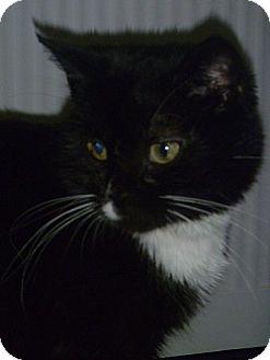 Domestic Shorthair Cat for adoption in Hamburg, New York - Cindy