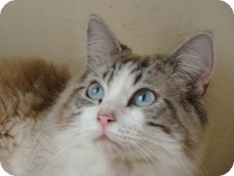 Ragdoll Cat for adoption in Huntley, Illinois - Abbey