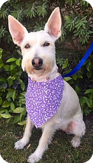 Schnauzer (Standard)/Terrier (Unknown Type, Medium) Mix Dog for adoption in Santa Monica, California - BECKY