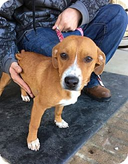 Dachshund/Whippet Mix Dog for adoption in Allentown, Pennsylvania - Barnacle (POM-CR)