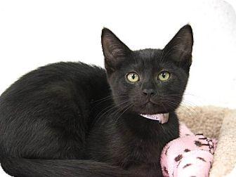 Domestic Shorthair Kitten for adoption in Pico Rivera, California - Huckleberry
