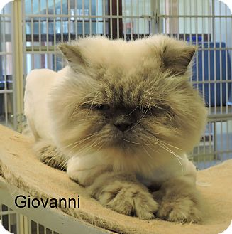 Himalayan Cat for adoption in Slidell, Louisiana - Giovanni