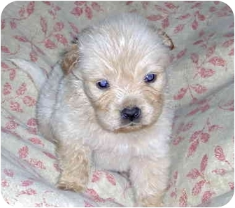 Labrador Retriever Mix Puppy for adoption in Harbor City, California - Male Lab Pup