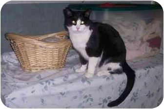 Domestic Shorthair Cat for adoption in Quincy, Massachusetts - Bootsy