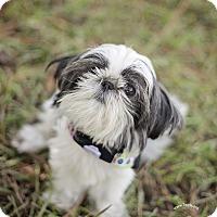 Adopt A Pet :: Little Bit - Kingwood, TX