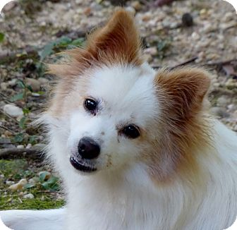 Pomeranian Mix Dog for adoption in Bowie, Maryland - Adopted! Leah