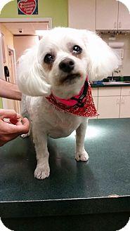 Bichon Frise/Poodle (Miniature) Mix Dog for adoption in Oak Ridge, New Jersey - Bonnie