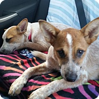 Adopt A Pet :: Becky - Lebanon, CT