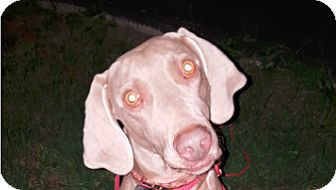 Weimaraner Dog for adoption in Grand Haven, Michigan - Baylee