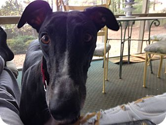 Greyhound Dog for adoption in Knoxville, Tennessee - Arkans Dartmouth