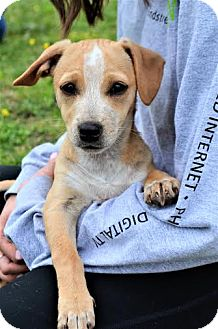 Beagle/Dachshund Mix Puppy for adoption in Westport, Connecticut - *Lucille - PENDING