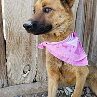 Shepherd (Unknown Type) Mix Dog for adoption in Apple Valley, California - Cheyenne