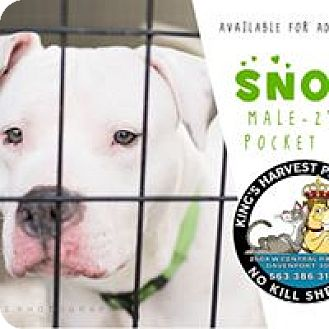 American Staffordshire Terrier Mix Dog for adoption in Davenport, Iowa - Snow