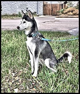 Siberian Husky Dog for adoption in Monument, Colorado - Kirra- Adopted!