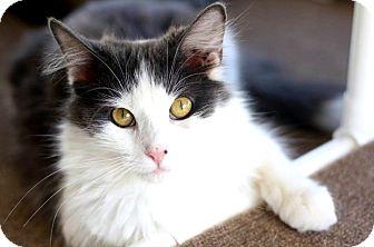Domestic Mediumhair Cat for adoption in Fayetteville, Arkansas - Skylar