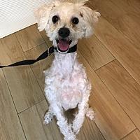 Adopt A Pet :: Glory - Redondo Beach, CA