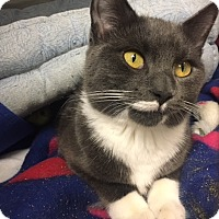 Adopt A Pet :: Violet - Fairfield, CT